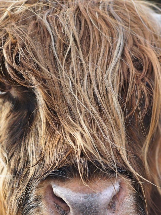 Eine Kuh mit Hörnern und langem Fell - man sieht nur das Gesicht